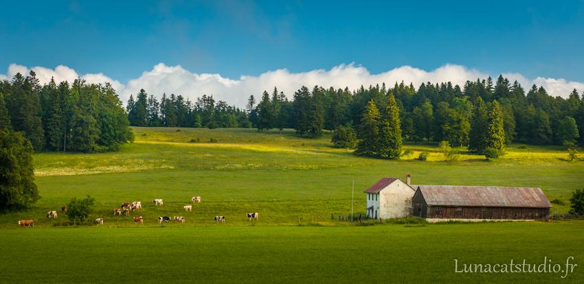 Photographe de paysage Suisse : vaches au pré