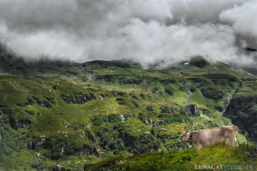 photo suisse vache